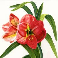 Red Orange Amaryllis Square Design