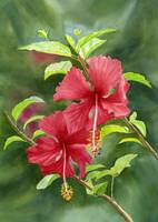 Red Hibiscus Blossoms with Background