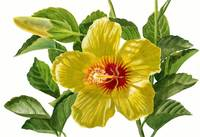Yellow Hibiscus Blossoms with Bud
