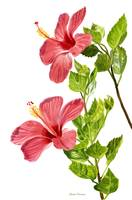 Two Light Red Hibiscus Flowers