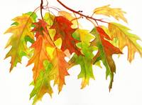 Fall Oak Leaves (white background)