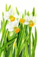 Daffodils with White Background