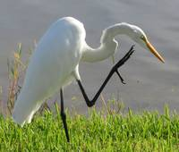 Great Egret 5