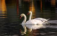 Regal Pair - Mute Swans