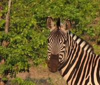 Here's looking at you from the Zebra