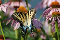 Tiger Swallowtail and Coneflowers 0946
