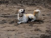 Dog playing in the sand on Kuta Beach in Bali