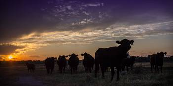 Broken Arrow Cows at Sunset