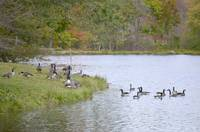 Dean Park Canada Geese in the water