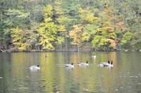 Dean Park Canada Geese swimming in a pond