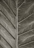 Elephant Ear Leaf Veins-warm tone