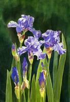 Lavender Irises and Buds with Dark Background