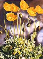 ak poppies 6.2x8.35