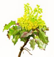 Oregon Grape Flowers white background