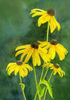 Black Eyed Susans with Dark Background