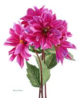 bouquet of rose violet dahlias copy