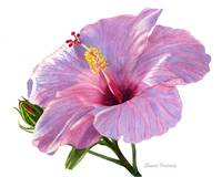 Pink Hibiscus Blossom with Blue Shadows