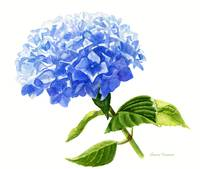 Blue Hydrangea Blossom, white background
