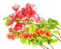 Branch of Bougainvillea white background