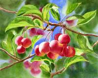 Red Crab Apples with Background