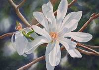 Star Magnolia and Bud