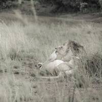 Lioness Resting Together