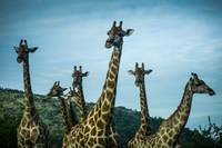 giraffe group II