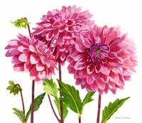 three bright pink dahlias