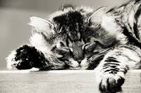sleeping tabby cat. black and white