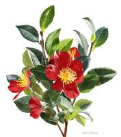 Red Camellia, white background