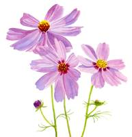 three pink cosmos blossoms square desi brush, crpt
