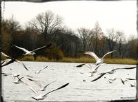 Gulls Over Prospect Park Lake