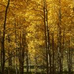 """""""Aspen fall colors"""" by peacockPhotography"""