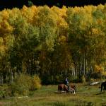 """""""Aspen Cowboys"""" by peacockPhotography"""