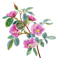 Wild Rose on White
