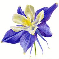 Single Blue Columbine Flower