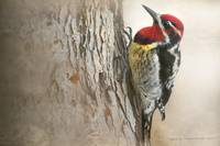 red-naped sapsucker study