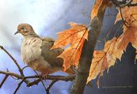 mourning dove rainy morn