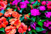 Orange and Fushia Flowers
