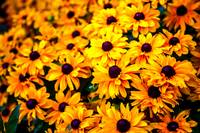 Bunch of Black Eyed Susans