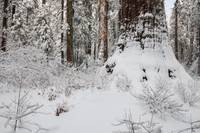 Snowy Forest Scene with Giant Sequoia