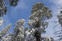 Snowy Sequoia Branches