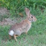 """Rabbit"" by mysticrose"
