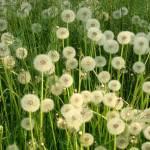 """Fields of softness"" by SueToronto"