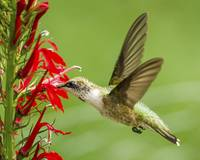 Hummingbird on Cardinal Flower