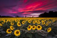 Sunflower Field Sunset by Cody York_N2Q2472