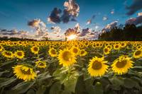Sunflower Field Sunburst by Cody York_N2Q2594
