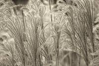 Grass Feathers Sepia