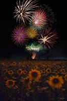 Sunflower Fireworks by Cody York_N2Q7374