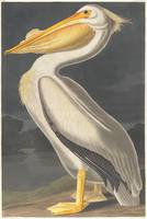 Vintage Illustration of a White Pelican (1836)